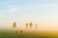 Sheep in the morning Stock Images