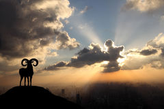 A sheep in the morning. Royalty Free Stock Image