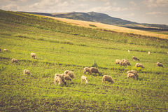 Sheep in morocco landscape Royalty Free Stock Photography