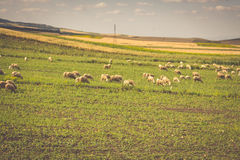 Sheep in morocco landscape Royalty Free Stock Photos