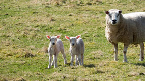 Sheep - Mother and babies Royalty Free Stock Images