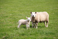 Sheep mother and baby Stock Photos