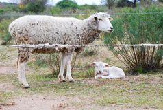 Sheep mother with her baby stock image