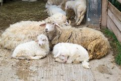 Sheep mother with little lambs. Sheep mother surrounded by little lambs stock photography