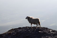 Sheep on mountain 1 Royalty Free Stock Image
