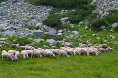 Sheep on a Mountain Stock Image