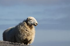 Sheep on mountain 2 Stock Images