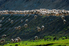 Sheep on the Mountain Stock Image