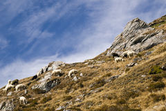 Sheep in the mountain royalty free stock images