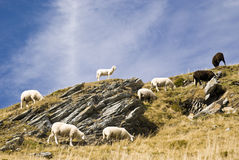 Sheep in the mountain. Sheep on a mountain with grass and rocks in a sunny day - Austria 2007 Stock Photography