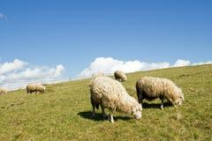 Sheep in mountain. Sheep herd on mountain plateau pasture (Carpathian mountain, Ukraine Royalty Free Stock Photos