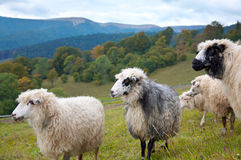 Sheep in mountain Royalty Free Stock Photo