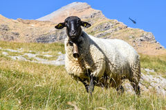 Sheep in the mountain backed up by a helicopter Stock Photography