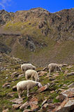Sheep on mountain background Stock Image