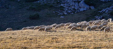 Sheep on the mountain. Sheep on the Bistra mountain in summer Royalty Free Stock Photography