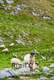 Sheep on the mountain fields. royalty free stock photos