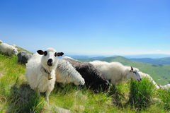 Sheep in mountain Royalty Free Stock Image