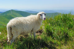 Sheep in mountain royalty free stock photography