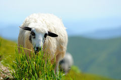 Sheep in mountain stock photography