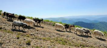 Sheep in mountain Royalty Free Stock Photo