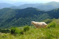 Sheep in mountain Stock Photos