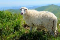 Sheep in mountain Stock Photo