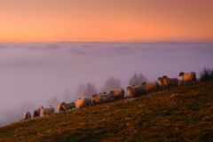 Sheep in the mountain at sunrise. Sheep in the mountain at foggy sunrise stock photo