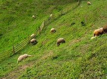 Sheep on mountain grass. Field Royalty Free Stock Images