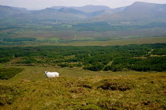 Sheep on mountain ireland. Sheep on field and mountain on background ireland kerry Royalty Free Stock Photo