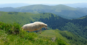 Sheep in mountain. Sheep jumping in a mountain royalty free stock photography
