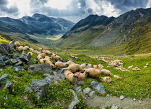 Sheep on the mountain Stock Images