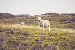 Sheep in mountain landscape Stock Photography