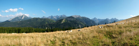 Sheep on the mountain pasture Stock Photography