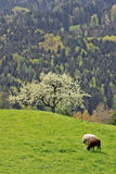 Sheep on a mountain pasture_4 Royalty Free Stock Photography