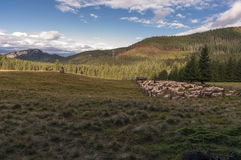 Sheep on a mountain pasture Stock Photography