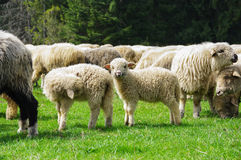 Sheep on a mountain pasture Stock Images