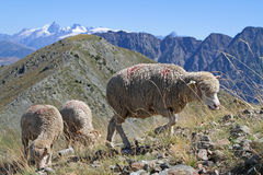 Sheep during mountain pasture Stock Photo