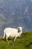 Sheep on a mountain Stock Images
