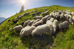 Sheep on a mountain pasture Stock Image