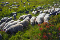 Sheep on a mountain pasture Stock Photos