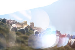 Sheep on mountain peaks. Flock of sheep on the mountain peaks, close-up view Royalty Free Stock Photography