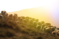 Sheep on mountain peaks. Flock of sheep on the mountain peaks, close-up view Stock Images