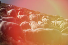 Sheep on mountain peaks. Flock of sheep on the mountain peaks, close-up view Stock Image