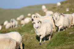 Sheep on mountain peaks. Flock of sheep on the mountain peaks, close-up view Royalty Free Stock Image