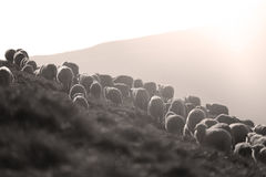 Sheep on mountain peaks. Flock of sheep on the mountain peaks, close-up view Royalty Free Stock Images
