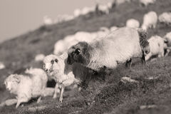 Sheep on mountain peaks. Flock of sheep on the mountain peaks, close-up view Stock Photo
