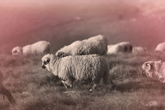 Sheep on mountain peaks. Flock of sheep on the mountain peaks, close-up view Royalty Free Stock Photo