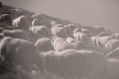 Sheep on mountain peaks. Flock of sheep on the mountain peaks, close-up view Royalty Free Stock Photos