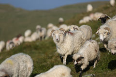 Sheep on mountain peaks. Flock of sheep on the mountain peaks, close-up view Stock Photos