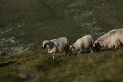 Sheep on mountain peaks Royalty Free Stock Photo